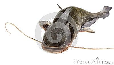 Big  river catfish