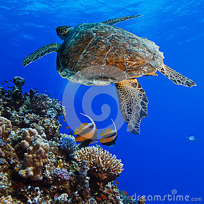 Big sea turle underwater