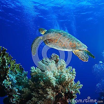 Big sea turtle soaring in deep blue sea