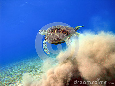 Big sea turtle starting from sand underwater