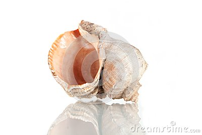 Big seashell, studio shot