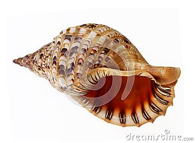 Big seashell talking