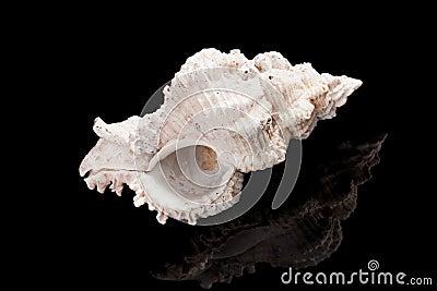 Big shell on black.