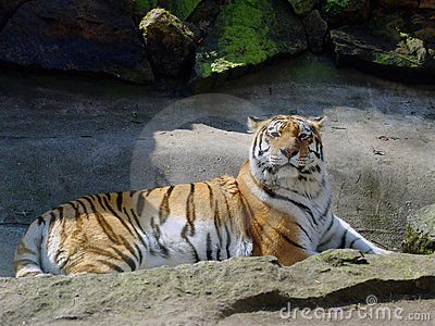 The big Siberian Tiger