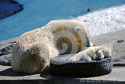 Big and small white polar bears sleeping