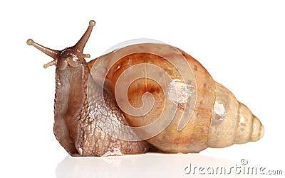 Big snail posing