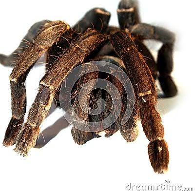 Big  spider 8
