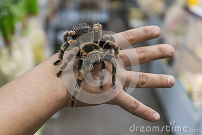 Big spider tarantula sits crawling on the man`s arm Stock Photo