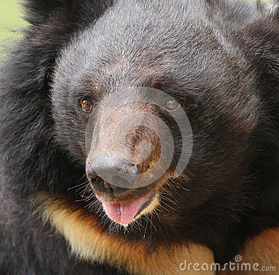Big sun bear with open mouth