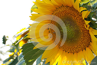 Big Sunflower closeup