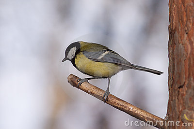 Big tit bird sits on tree branch in the forest