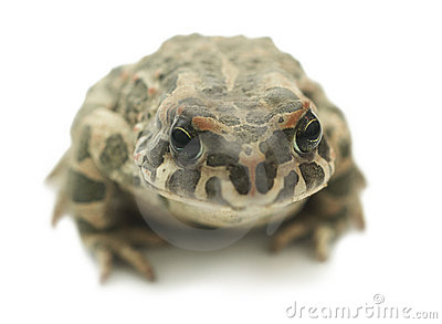 Big toad (Bufonidae)