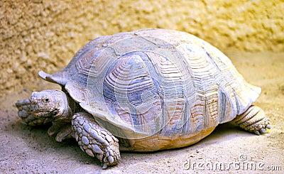 A big tortoise