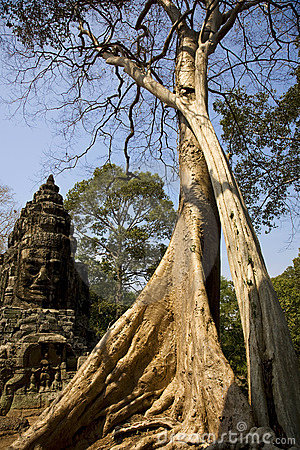 Big tree in Angkor Wat