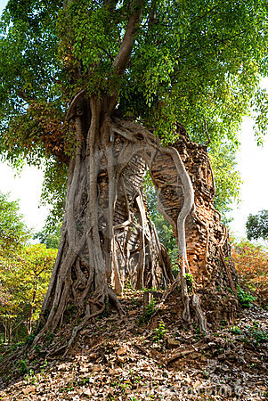 Free Big Tree In A Tropical Forest, Cambodia. Royalty Free Stock Photography - 12858537