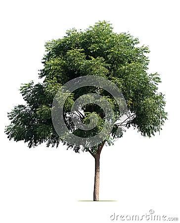 Free Big Tree Isolate On White Stock Photo - 103129860