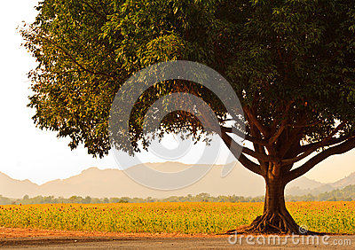 A Big Tree near Sunflower field.