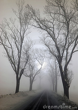 Big trees in the fog