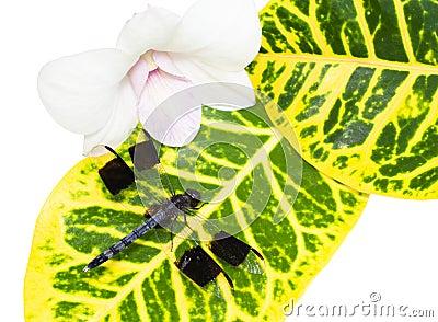 Big tropical dragonfly on a leaf