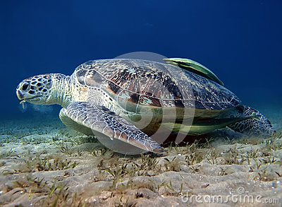 Big turtle and green suckerfish at the bottom of the sea