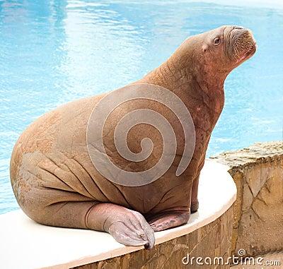 Big Walrus