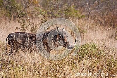 Big warthog standing in grass