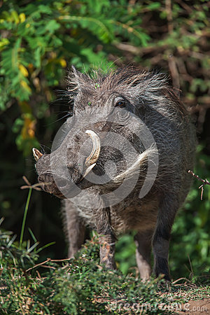 Free Big Warthog With Large Tusks Feeds On His Knees In This Close Up Portrait Stock Images - 70302254