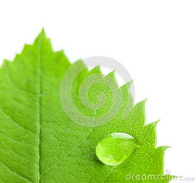 Free Big Water Drop On A Green Leaf  / White Background Royalty Free Stock Photo - 25348575