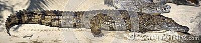 Big wet crocodile