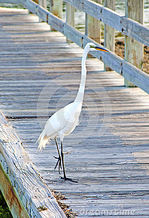 Free Big White Heron On A Beach Walkway Royalty Free Stock Photo - 97699275