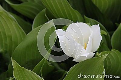 Big white lily