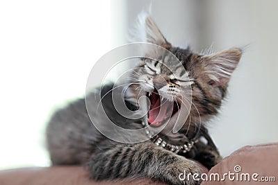 Big Yawn for a Little Kitten