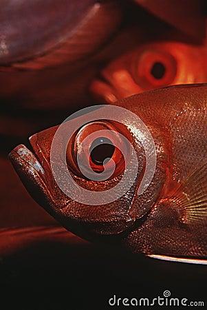 Bigeyes ημισεληνοειδής-ουρών της Μοζαμβίκης Ινδικός Ωκεανός (Priacanthus hamrur) κινηματογράφηση σε πρώτο πλάνο
