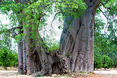 Biggest baobab in South Africa