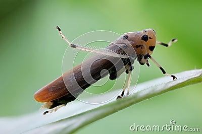 Bighorn cicada