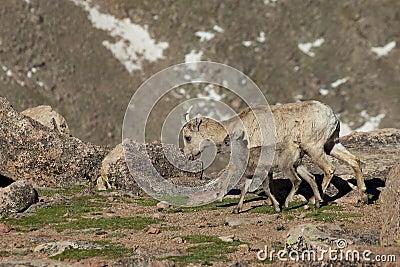 Bighorn Ewe and Lamb Walking