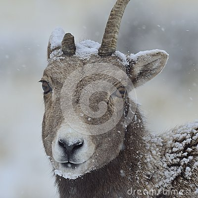 Bighorn Ewe in a Yellowstone Snowstorm