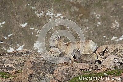 Bighorn-Mutterschaf und Lamm