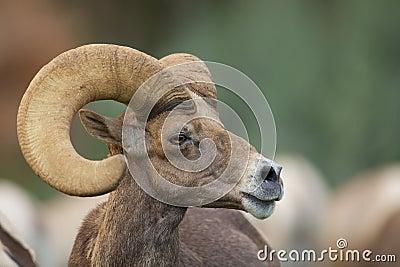 Bighorn Ram Portrait do deserto