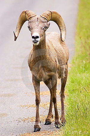 Free Bighorn Sheep Royalty Free Stock Photography - 5455177
