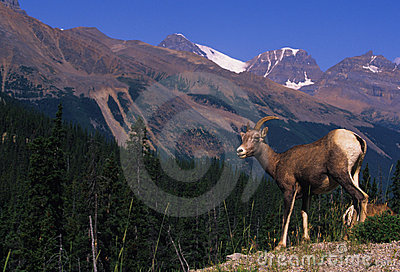 Bighorn Sheep Female(ewe)