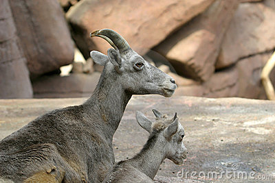 Bighorn sheep and lamb