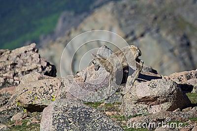 Bighorn Sheep Lamb in the Alpine