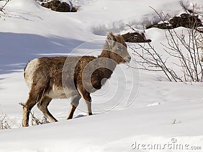 Bighorn Sheep lamb Ovis canadensis