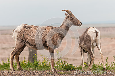 Bighorn Sheep Pair (Ovis canadensis)
