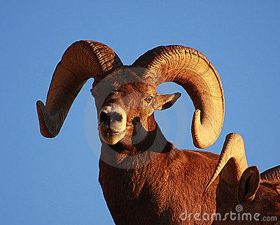 Bighorn sheep ram with blue sky