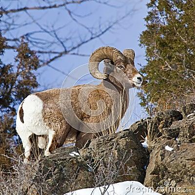 Bighorn Sheep ram Ovis canadensis