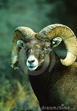 Bighorn Sheep Ram Portrait