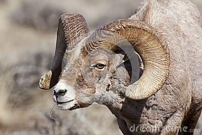 Bighorn sheep ram in rut