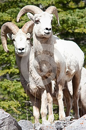 Bighorn sheep Rams